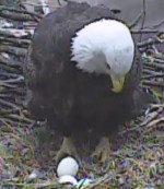 Watching Some Egg-citing Nature, Thanks to Webcam