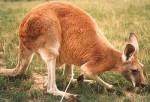 kangaroo-image