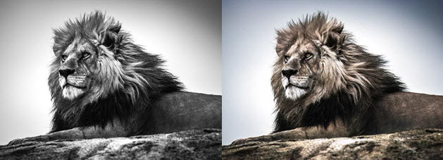 Colorized Photo of Lion
